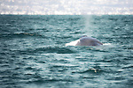 Worlds largest mammal, this Blue Whale swimming off the San Diego coast.