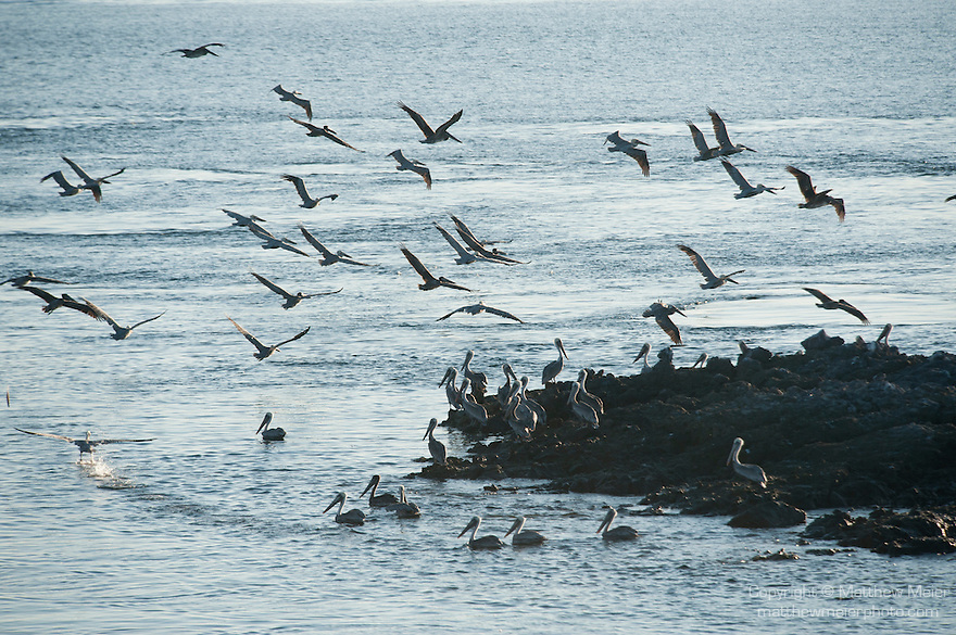 Sea of Cortez, Baja California, Mexico; a flock of Brown Pelican (Pelecanus occidentalis) birds taking flight over the water's surface