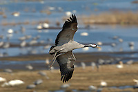 Crane Grus grus L 95-115cm. Stately, long-legged, long-necked bird with bushy tail-end. In flight, wings are broad and long; flies with neck and legs outstretched. Typically wary. Sexes are similar. Adult has mainly blue-grey plumage with black and white on head and neck; back sometimes appears rather brown. Note patch of red on hindcrown. Juvenile is similar to adult but head is pale buffish grey and lacks adult's black and white markings. Voice Utters a loud, trumpeted rolling krrruu. Status Small population is resident in NE Norfolk, and successful breeding has occurred; also a scarce passage migrant and very occasional winter visitor.