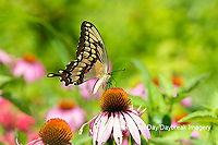 03017-01612 Giant Swallowtail (Papilio cresphontes) on Purple Coneflower (Echinacea purpurea) Marion Co. IL