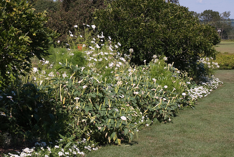 White Garden Color Theme: Datura (seed-raised), Cleome, Phlox, Verbena at White Flower Farm, Litchfield, CT