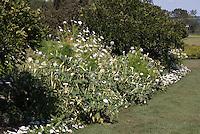 White Garden Color Theme: Datura (seed-raised), Cleome, Phlox, Verbena at White Flower Farm, Litchfield, CT
