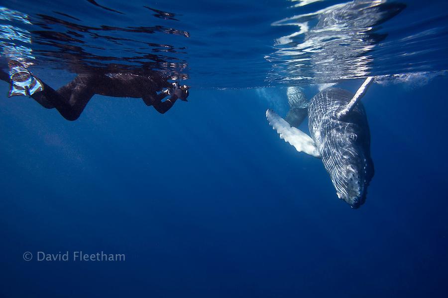 A photographer (MR) lines up on a young humpback whale, Megaptera novaeangliae, Hawaii.