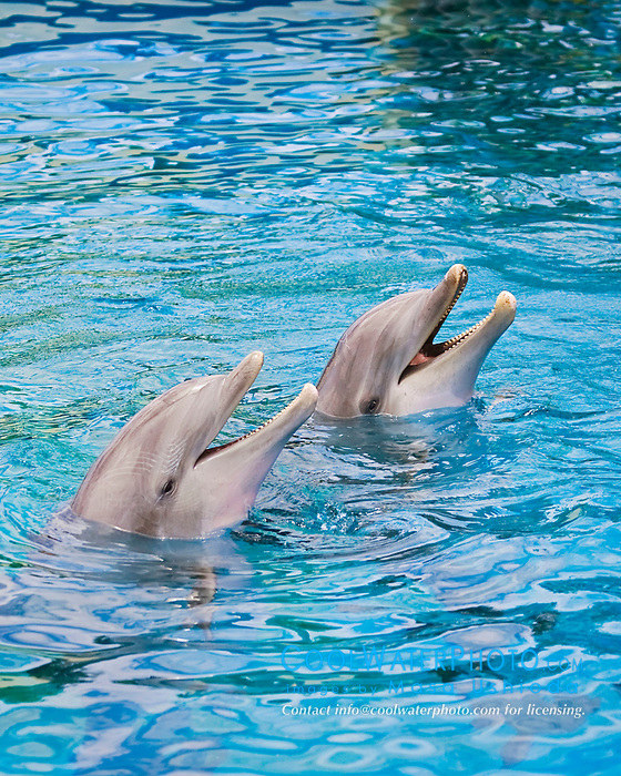 Atlantic bottlenose dolphins, Tursiops truncatus, Atlantic Ocean (c)