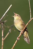 Schlagschwirl, Schlag-Schwirl, Locustella fluviatilis, river warbler