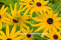 63899-05415 Sweet Black-eyed Susan (Rudbeckia subtomentosa) Marion Co., IL