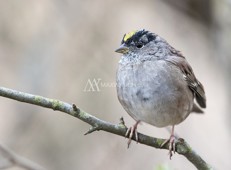 This was my first chance to photograph Golden-crowned sparrows.