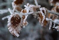 Europe/France/Limousin/23/Creuse/Plateau de Millevaches/Env Féniers: Hiver sur le plateau - Détail de givre sur feuilles d'arbre