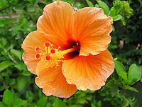 Close up of beautiful,enticing, smiling orange Hibiscus