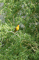 A Bullock's Oriole (icterus bullockii) sits in a willow tree. This solitary bird forages widely for caterpillars, fruit, and nectar in low brush and in trees.