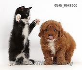Kim, ANIMALS, REALISTISCHE TIERE, ANIMALES REALISTICOS, fondless, photos,+Black-and-white kitten, Solo, 7 weeks old, playfully dabbing at F1b toy Cavapoo puppy.,++++,GBJBWP42500,#a#