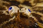 Carpet Sole; Indonesia; Lembeh; Liachirus melanospilus; Soleidae; underwater marine life