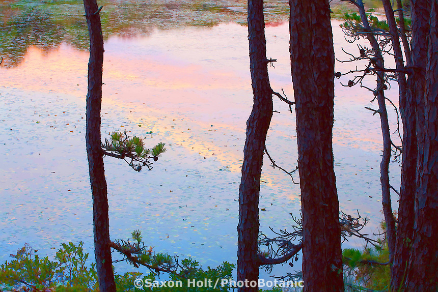 Impressions of dusk on Blackwater Pond through the Pine Trees