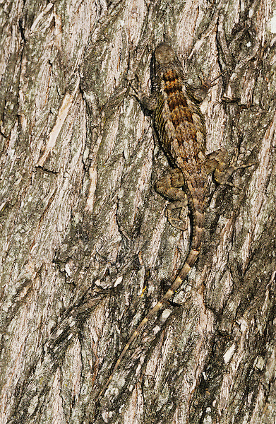 Texas Spiny Lizard, Sceloperus olivaceus, adult on Mesquite tree bark, Willacy County, Rio Grande Valley, Texas, USA, May 2004