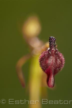 King-in-his-carriage Hammer Orchid (Drakaea glytpdon) near Yallingup, Margaret River area of Western Australia.