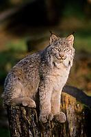 Canada Lynx (Lynx canadensis).  Summer.