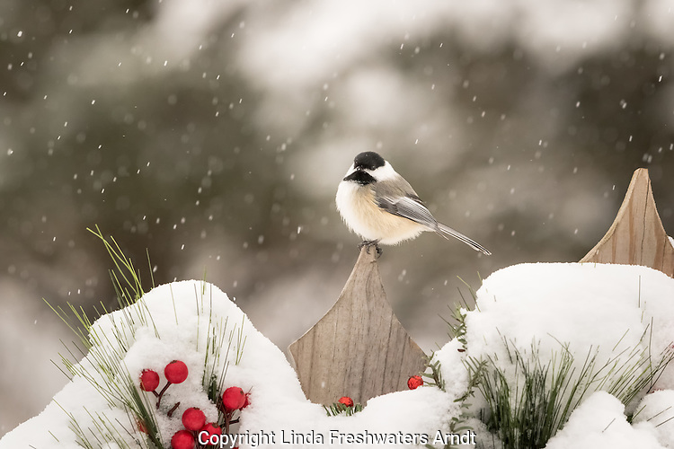 Black-capped chickadee perched on a snow-covered fence