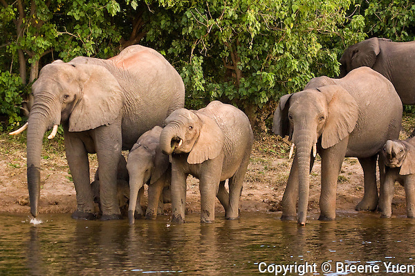 Elephants drink from the Zambezi River, Zimbabwe, April 2008