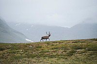 Reindeer against misty mountain landscape, Kungsleden trail, Lapland, Sweden