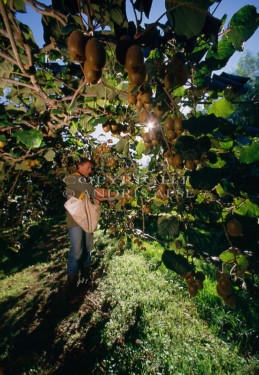 Harvesting Kiwifruit. Bay of Plenty New Zealand. Vertical Format.