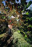 Harvesting Kiwifruit. Bay of Plenty New Zealand. Vertical Format.
