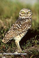 01115-00115 Burrowing Owl (Athene cunicularia)    FL