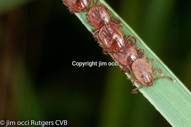questing Asian longhorned ticks from Bergen County, Haemaphysalis longicornis