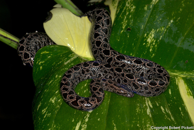 Panamanian Dwarf Boa Snake, Ungaliophis panamensis, Nicaragua, Costa Rica, Panama and northwestern Colombia, curled on leaf in rain, wet