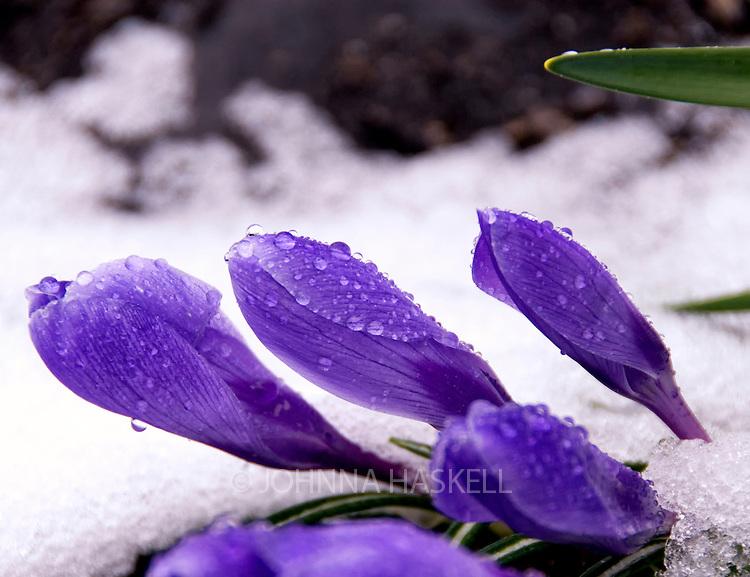 Crocus blooming through snow in spring in Western Maine.