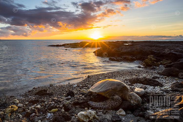 At sunset, a honu (or Hawaiian green sea turtle) sleeps on the beach for the night in Puako, Big Island.