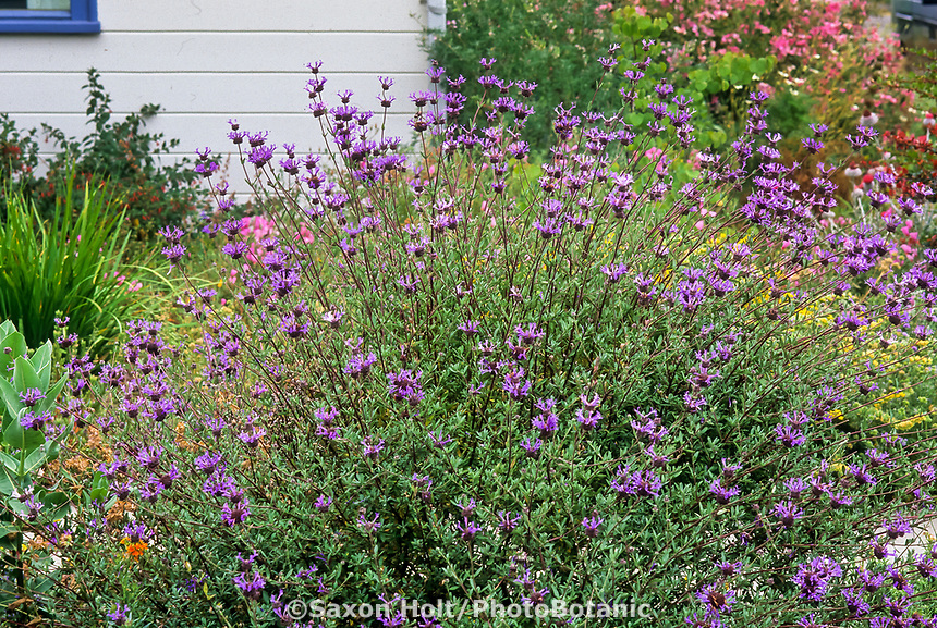 Salvia clevelandii 'Winifred Gilman', California Blue Sage flowering in California cottage garden