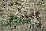 Wildlife - Mule deer