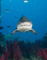 TP0337-Dv. Sand Tiger Shark (Carcharias taurus) swimming inside the shipwreck of the Aeolus, a 409-foot long tanker sunk on purpose in 1988 to create an artificial reef. This species is ovoviviparous (also called aplacental viviparity), which means that after fertilization of the eggs, the young sharks develop inside the mother while encapsulated in their shells, nourished by attached egg yolks. Later, when the eggs hatch, the pups are expelled from the uterus as miniature near replicas of the adult, ready to live life on their own. North Carolina, USA, Atlantic Ocean. Cropped to vertical from native horizontal format.<br /> Photo Copyright &copy; Brandon Cole. All rights reserved worldwide.  www.brandoncole.com