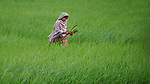 Jabeda Begum walks through her rice field in Kunderpara, a village on an island in the Brahmaputra River in northern Bangladesh.
