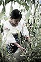 A members of The Pakarinka Sisari Ancestral Wisdom Center near Otavalo, Ecuador, harvests fava beans.