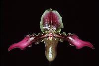 Paphiopedilum hirsutissimum 'Hamish Hog'
