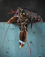 France, Manche (50), Cotentin,  Homard du Cotentin  et de Jersey// France, Manche, Cotentin,  Cotentin and Jersey lobsters <br /> - Stylisme : Valérie LHOMME