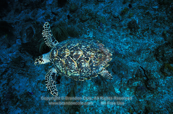 na568. Hawksbill Sea Turtle (Eretmochelys imbricata). Bahamas, Atlantic Ocean..Photo Copyright © Brandon Cole. All rights reserved worldwide.  www.brandoncole.com..This photo is NOT free. It is NOT in the public domain. This photo is a Copyrighted Work, registered with the US Copyright Office. .Rights to reproduction of photograph granted only upon payment in full of agreed upon licensing fee. Any use of this photo prior to such payment is an infringement of copyright and punishable by fines up to  $150,000 USD...Brandon Cole.MARINE PHOTOGRAPHY.http://www.brandoncole.com.email: brandoncole@msn.com.4917 N. Boeing Rd..Spokane Valley, WA  99206  USA.tel: 509-535-3489