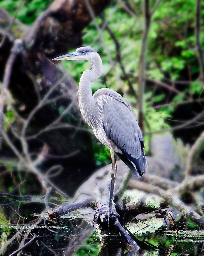 Great blue heron fishing in pond