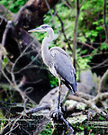 Great blue heron fishing in pond