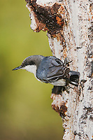 Pygmy Nuthatch,Sitta pygmaea, adult climbing on pine tree, Rocky Mountain National Park, Colorado, USA, June 2007