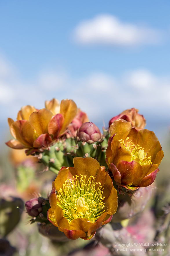 Sabino Canyon Recreation Area, Tucson, Arizona; redish orange and yellow cactus flowers against a blue sky with puffy white clouds