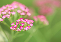 Tiny pink flowers blossoming, a dreamy macro close up - Free nature stock image.
