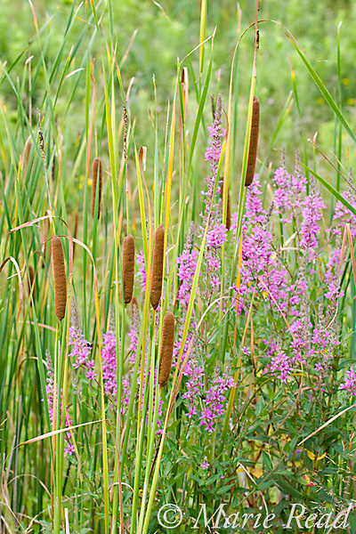 Purple Loosestrife (Lythrum salicaria), flowering amid Common Cattail  (Typha latifolia). New York, USA. Purple Loosestrife is an introduced plant that invades and degrades freshwater wetlands, New York, USA
