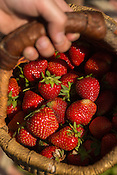Caleb McLamb, 4, of Hillsborough, NC, carries a small harvest of strawberries from the Whitted Bowers certified Organic and Biodynamic farm after digging through their U-pick field Tuesday, May 5, 2015 in Cedar Grove, NC.