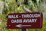 White winged dove on sign in Palm Desert