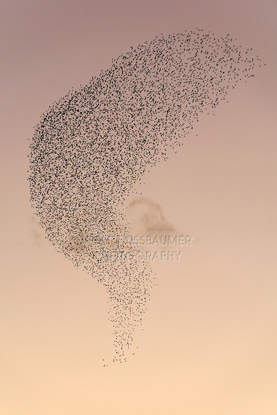 European Starling (Sturnus vulgaris), Flock migrating in winter at sunset, Rome, Italy, Europe