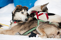 Bruce Linton dogs rest at Takotna during Iditarod 2009
