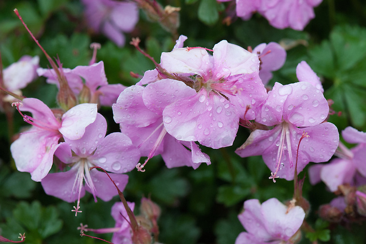 Geranium dalmaticum, early June. A hardy evergreen herbaceous perennial forming a low mat, with glossy dark green, fragrant, deeply-lobed leaves and flat, clear light pink flowers. Also known as Dalmatian Geranium.