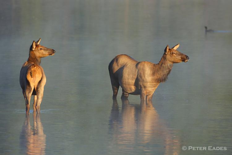 Rocky Mountain Elk Cows in Water